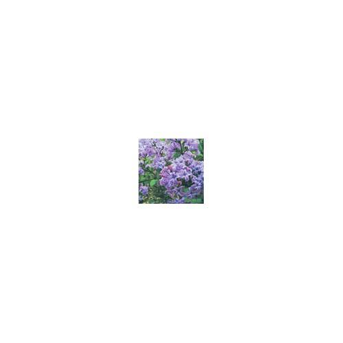 供应紫丁香