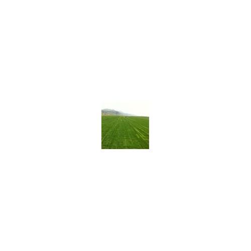 供应绿化草坪