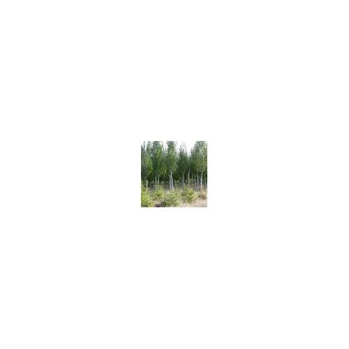 银中杨绿化苗木