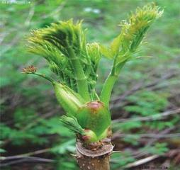 刺嫩芽苗批發價,遼寧當年生刺老芽價格,刺老芽,刺龍芽批發