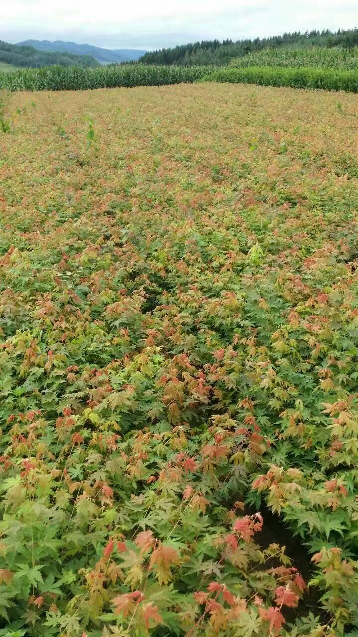 當年生的九角楓苗批發價,遼寧九角楓種植基地,假色槭價格