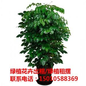 北京酒店绿植花卉租摆 北京商场绿植花卉租摆