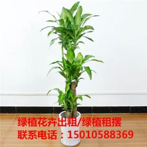 北京办公室绿植花卉租赁 北京酒店绿植花卉租赁