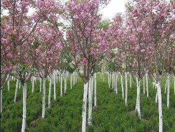 紫薇花,樱花树,桂花树,