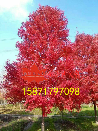 供应十月光辉红枫量大从优 详情电询15871797098