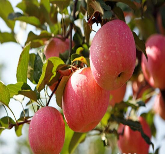 泰安苹果树苗供应基地 山东苹果树苗供应商