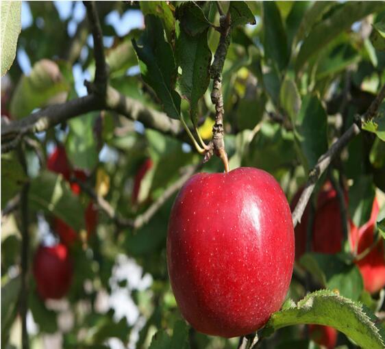泰安蘋果樹苗供應商 山東蘋果樹苗供應基地