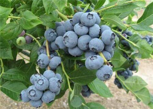 美登蓝莓苗-山东美登苗价格/优质美登蓝莓苗批发-美登苗价格