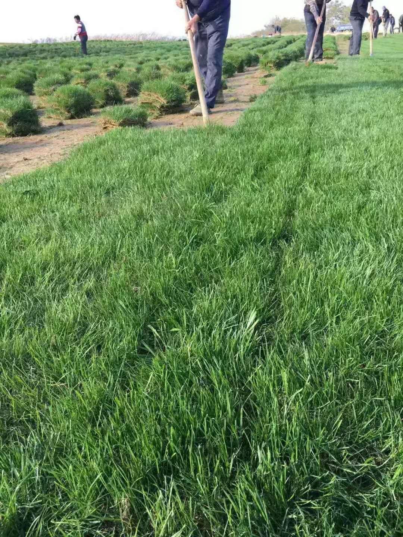 句容草坪基地批发百慕大草坪,天堂草坪,高羊茅草坪