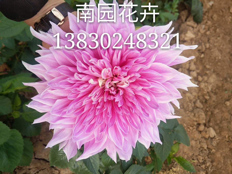 大丽花(Dahlia pinnata Cav.)