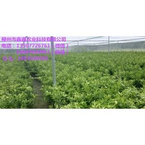 广东沙糖桔苗价格多少钱一棵
