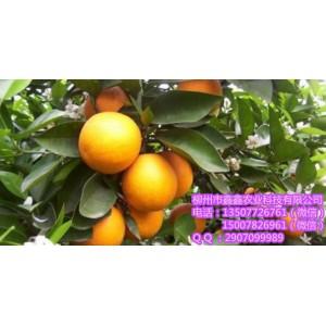 南宁阿尔及利亚夏橙苗价格
