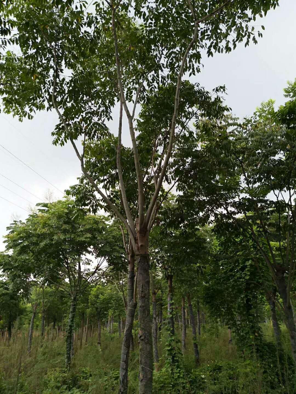 湖南米径18公分黄山栾树假植苗批发价格