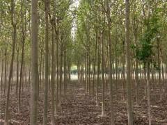 河北杨苗木基地 河北杨供应苗圃 适宜盐碱地种植的苗木
