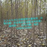 临清107速生杨批发基地