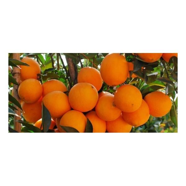 贺州纽荷尔脐橙树苗价格