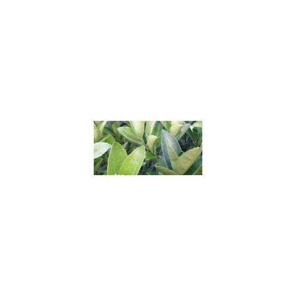 贺州哪里有小叶软枝香橙头沃柑苗出售