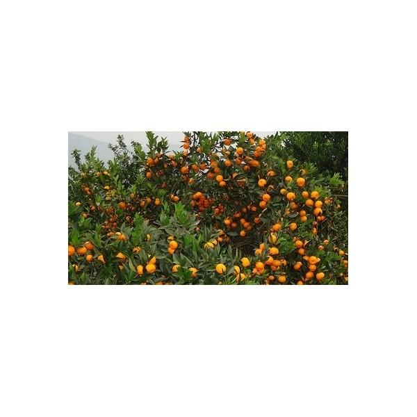 贺州沙糖桔果苗出售&贺州哪里有沙糖桔果苗基地&供应沙糖桔果苗