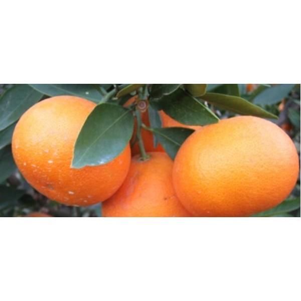 贺州目前沃柑苗那里有卖的
