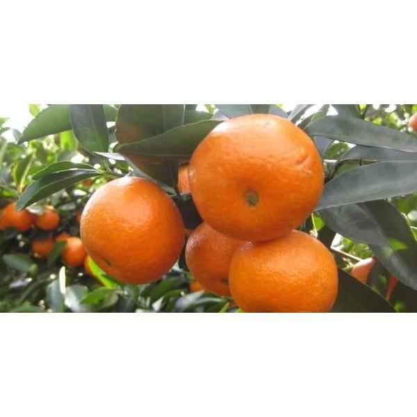 贺州柑橘杯苗价格【贺州有柑橘杯苗卖】贺州大量批发柑橘杯苗