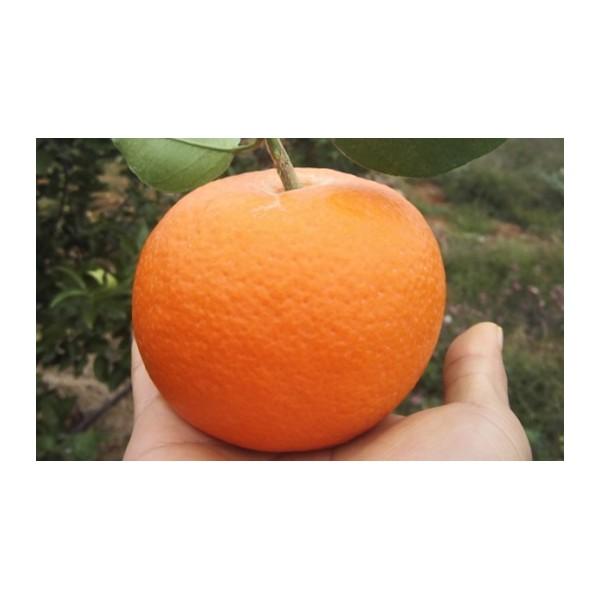 贺州哪里出卖杂柑新品种爱媛42号苗的