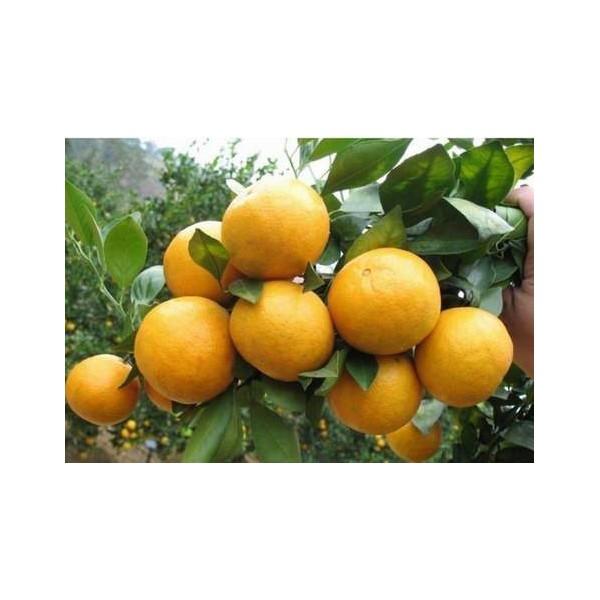 柳城哪里有出售皇妃贡柑苗的啊