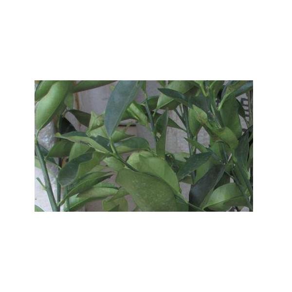 柳城哪里有大棚金葵蜜桔苗基地