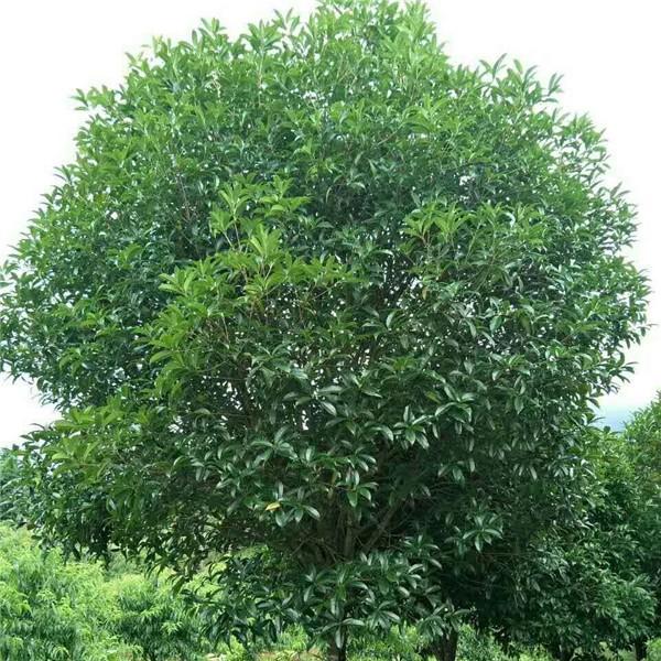 广西桂花树价格是多少,广西银杏树怎么卖
