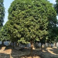 广西造型罗汉松批发价格 广西桂花树小苗供应基地