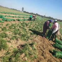 山东菏泽麦冬草多少钱一斤 山东菏泽麦冬草大量供应基地