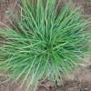 麦冬草的种植与管理?专业麦冬草专家为您解答