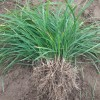 绿化麦冬草《低价麦冬草》麦冬草批发供应