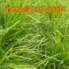 麦冬草价格#麦冬草报价#麦冬草批发#麦冬草种植基地