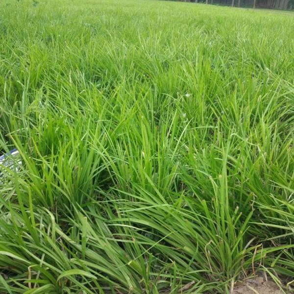 麦冬草行情怎么样?种植麦冬草怎么管理?