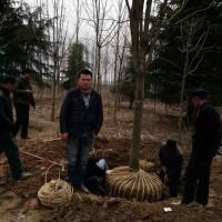 汝南县6米雪松树批发价格 河南驻马店汝南雪松批发基地