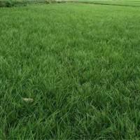 山东菏泽麦冬草供应价格 山东菏泽工程麦冬草最新价格供应基地