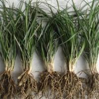 河南鲜麦冬草规格齐全基地大量供应 北京麦冬草基地批发价格