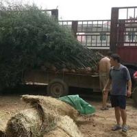 河南大型雪松苗圃/续晓雪松苗木专业合作社