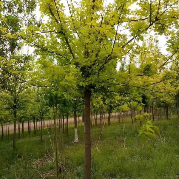 金叶榆小苗|营养杯金叶榆|地接金叶榆球|辽宁独杆金叶榆造型树