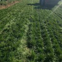 山东公园麦冬草绿化批发价格/哪里有卖麦冬草草坪的用于绿化?