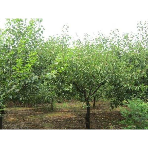 河北八棱海棠树种植培育
