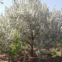 河北八棱海棠小苗种植培育
