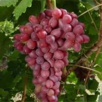 葫芦岛克伦生葡萄苗供应价格 葫芦岛克伦生葡萄苗种植基地