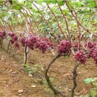 辽宁克伦生葡萄苗供应价格 辽宁克伦生葡萄苗种植基地