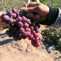 辽宁克伦生葡萄苗种植基地 辽宁克伦生葡萄苗供应价格