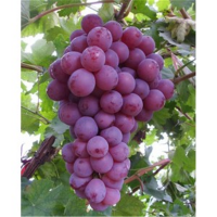 葫芦岛红提葡萄苗供应价格 葫芦岛红提葡萄苗种植基地