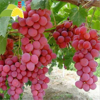 葫芦岛红提葡萄苗种植基地 葫芦岛红提葡萄苗供应价格