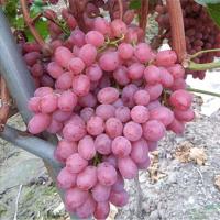 辽宁红提葡萄苗供应价格 辽宁红提葡萄苗种植基地