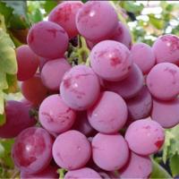 辽宁红提葡萄苗种植基地 辽宁红提葡萄苗供应价格