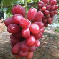 葫芦岛浪漫红颜葡萄苗供应价格 葫芦岛浪漫红颜葡萄苗种植基地